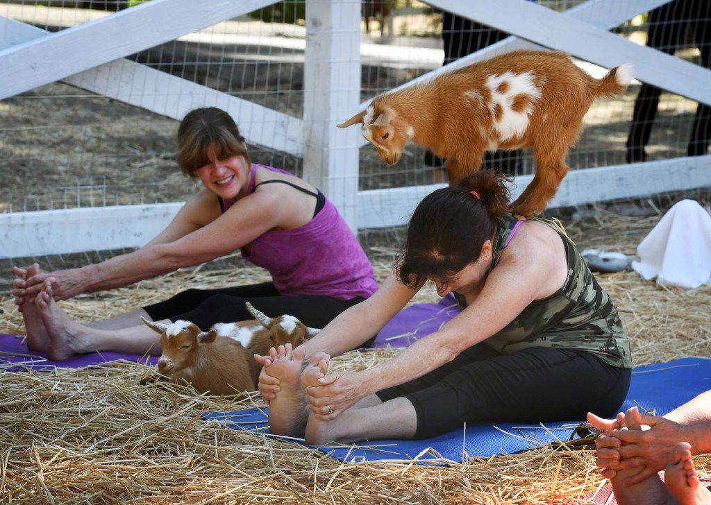 A file photo of a goat yoga class in California. Goat yoga is also available in the D-FW area for those willing to take the risk.
