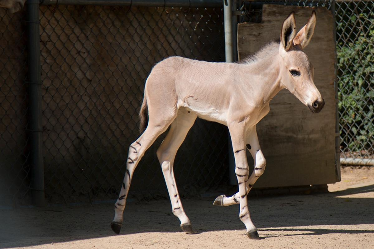 Naima runs behind-the-scenes exhibit at the Dallas Zoo. Kalila was born July 9 and Naima was born 10 days later.