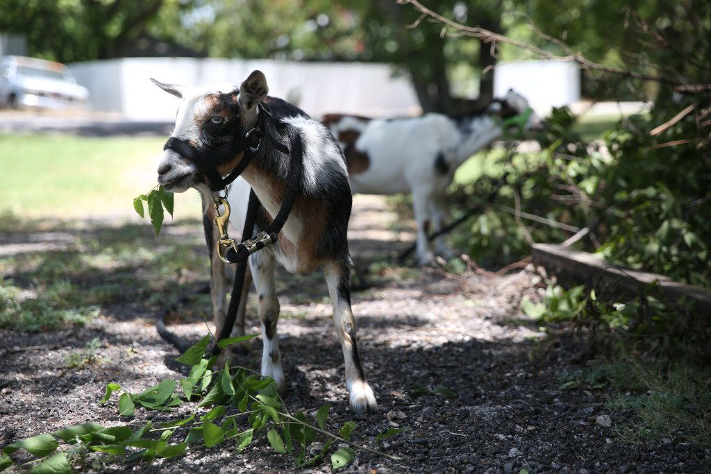 Pygmy goats Camo (front) and Snickers graze the lawn of Stephanie Fouquette's mother's home in Fate, Texas on Friday, July 28, 2017. (Rose Baca/The Dallas Morning News)