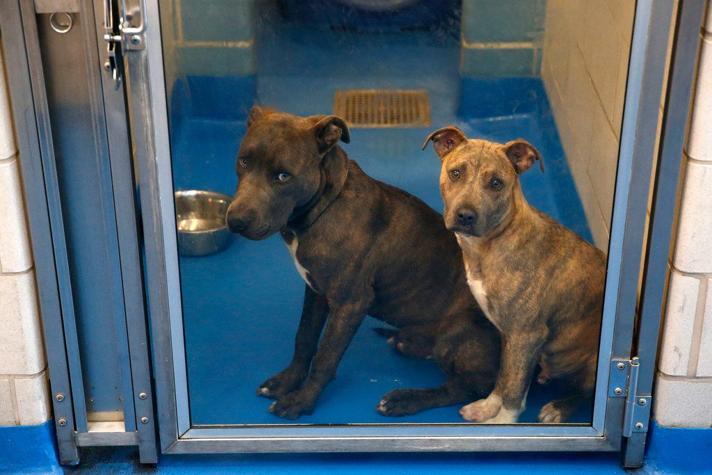 Dogs wait to be adopted at Dallas Animal Services in Dallas on Nov. 15, 2017. Dallas Animal Services kennels are nearly full, and with more animals coming in daily, adoption fees are being waived.