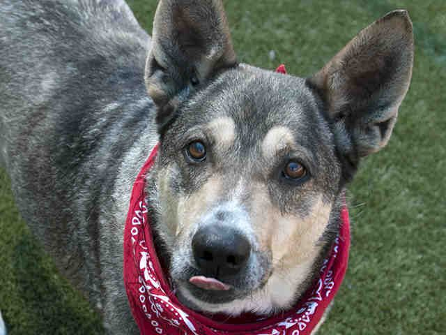 Champ, a German shepherd available in Dallas