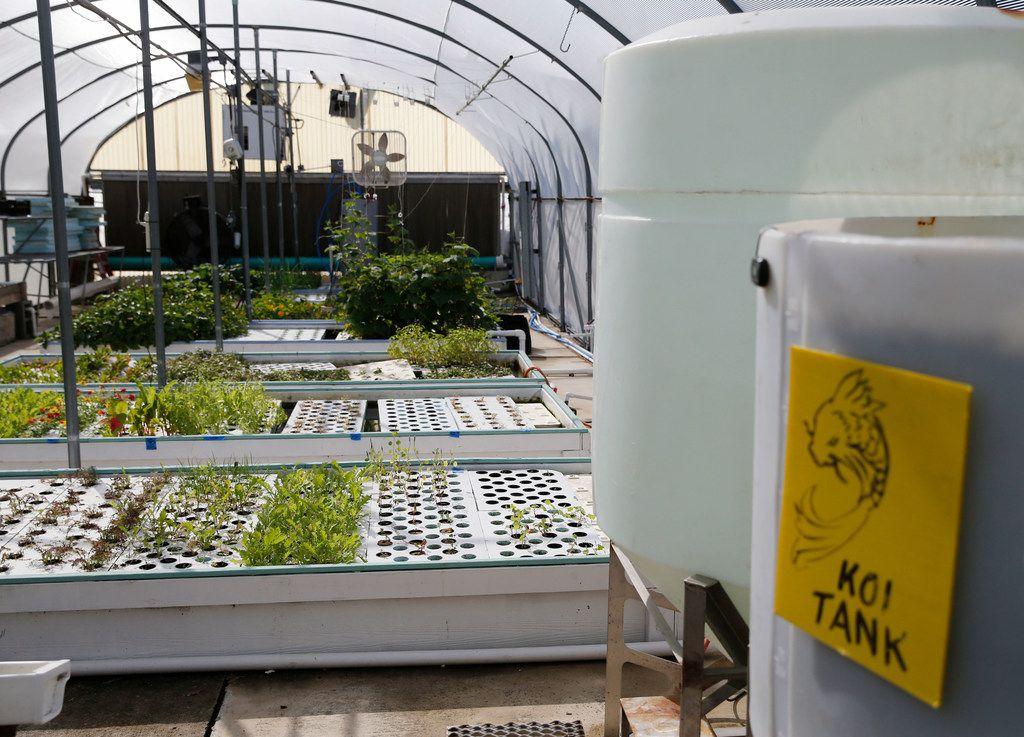 The aquaponics greenhouse at Profound Microfarms uses koi fish and goldfish.