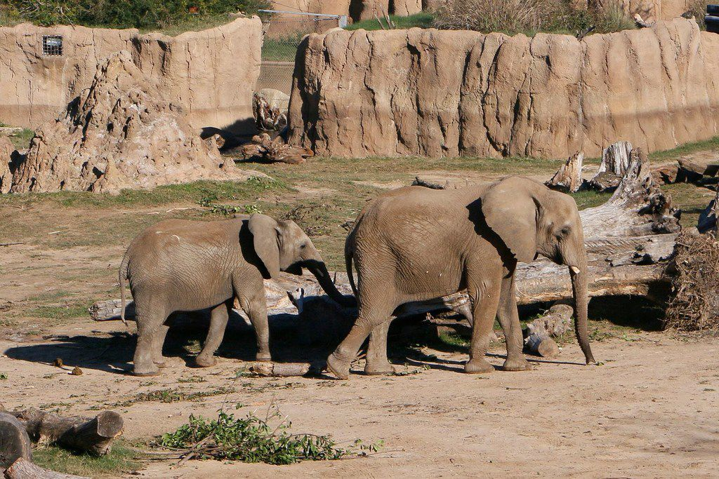 Nowalzi and her daughter Amahle at the Giants of the Savanna habitat at the Dallas Zoo.