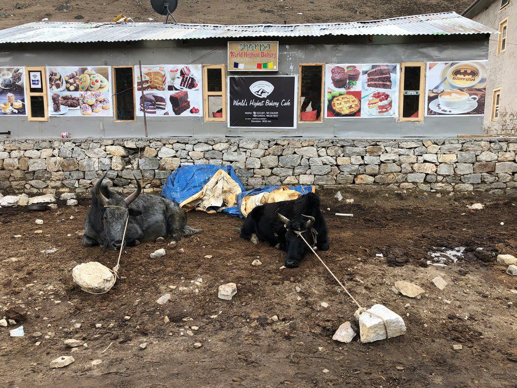 Animals are tied up outside the world's highest bakery, located at approximately 16,600 feet in the town of Lobuche along the trail to Everest Base Camp.