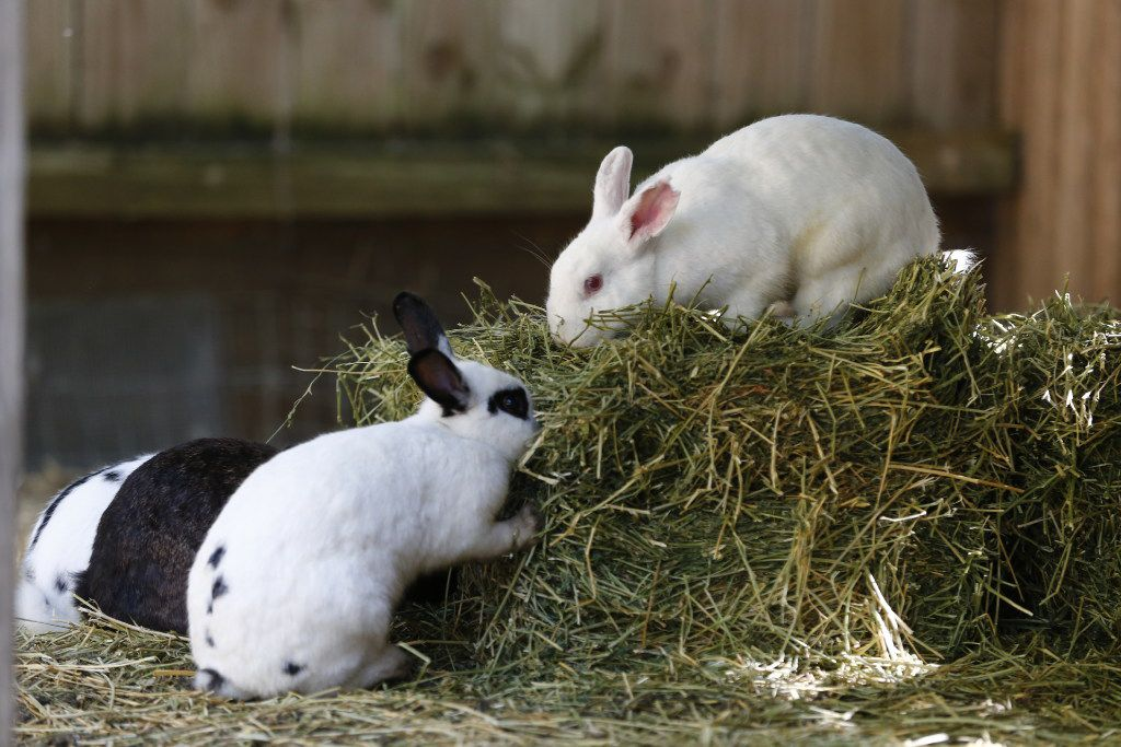 About a quarter of the domestic rabbits living in the backyard sanctuary will find adoptive homes.