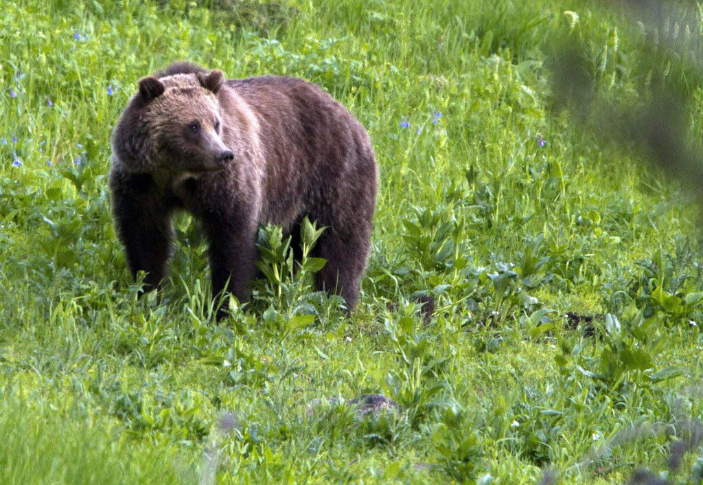 Grizzly bears have been spotted in Yellowstone National Park and near the base of Wyoming's Steamboat Mountain in recent days. Visitors should take precautions such as carrying bear spray and hiking in groups.