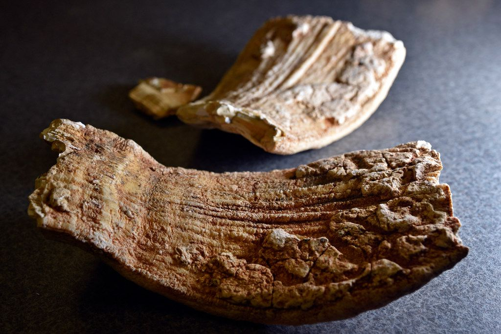Mammoth teeth fossils discovered on the DFW Airport property.
