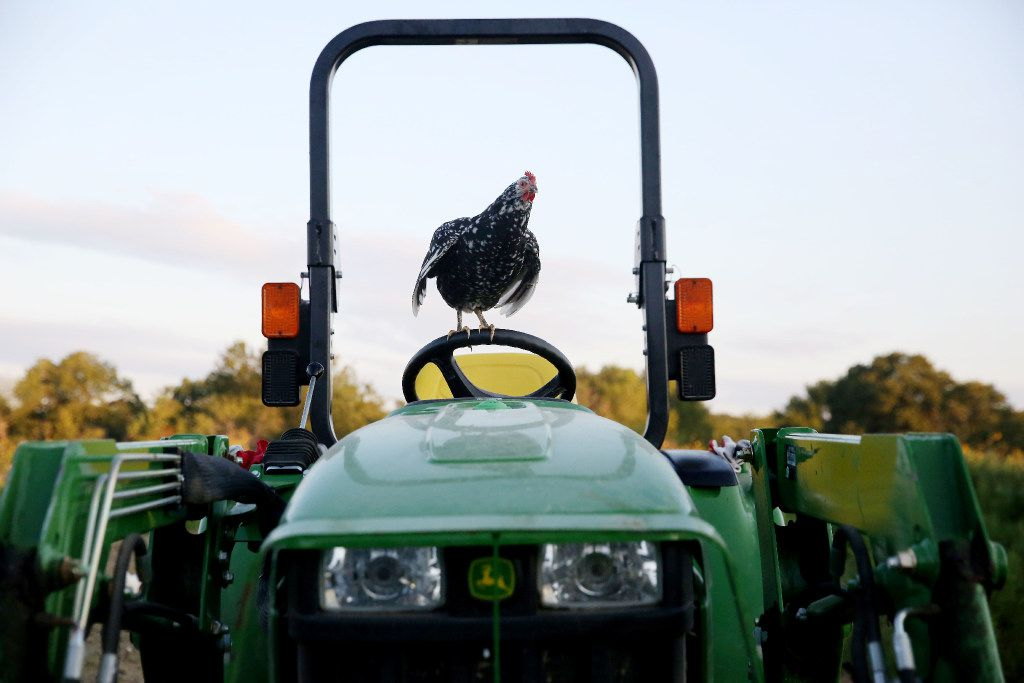 A chicken stands atop a tractor at Bonton Farms off Ravenview Road in Dallas. The farm is preparing for its first fall crop on the land. (Andy Jacobsohn/Staff Photographer)