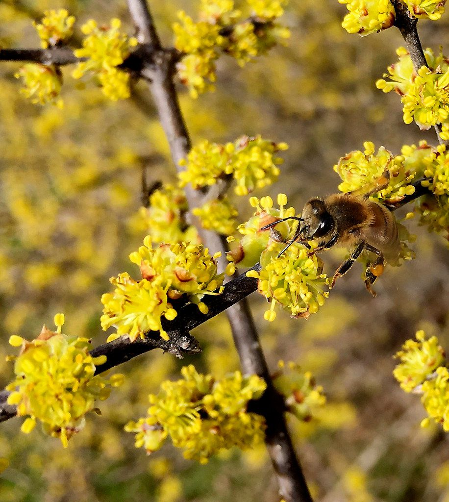 A bee collects pollen from a blossoming plant at Spring Creek Forest Preserve in Garland.