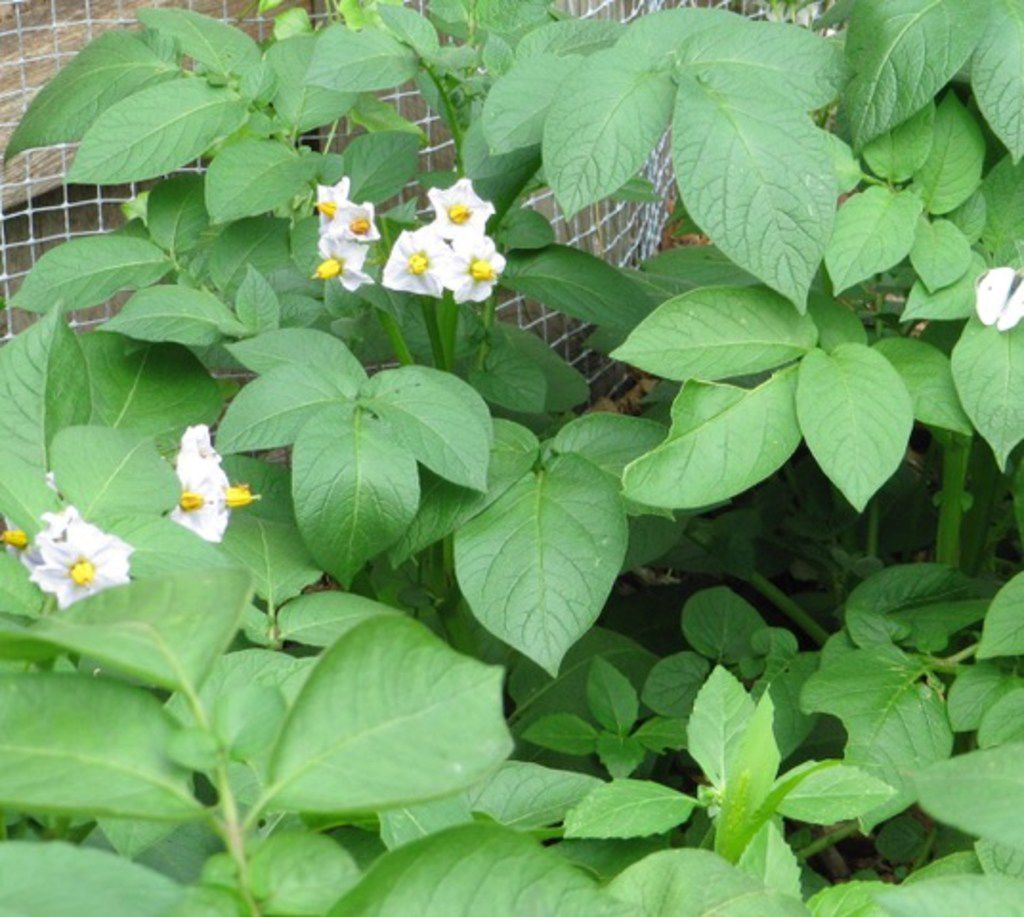 Vines and flowers of potatoes