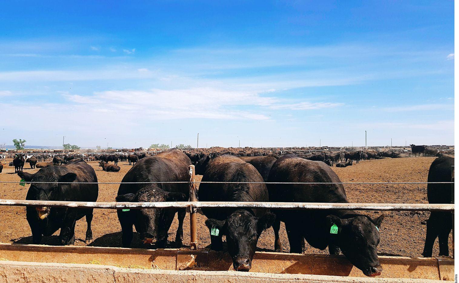 Desde que nace el ganado se le debe de cuidar para que esté bien alimentado.