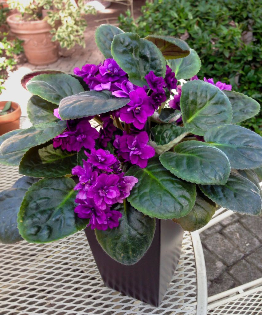 Try orange oil on the pot of your African violet to keep cats away.