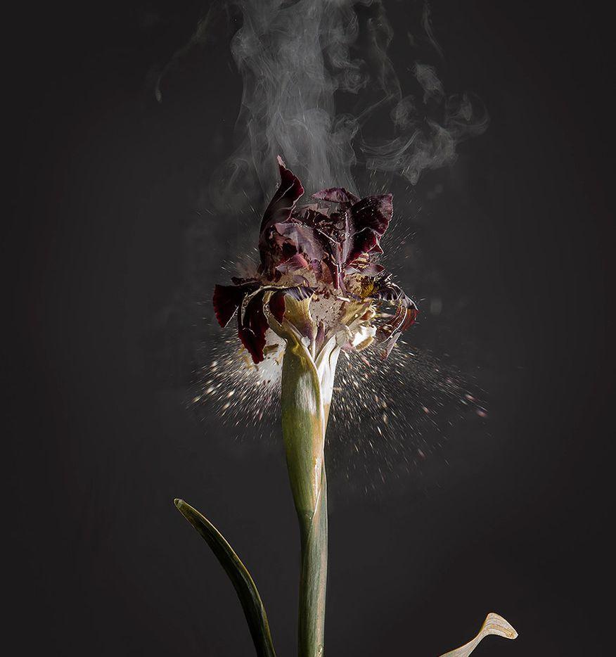 Ori Gersht, Iris Atropurpurea DO1, 2018, archival pigment print