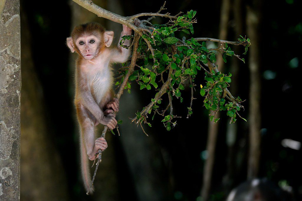 While this August 2019 photo shows a monkey resting on a tree at Monkey Island in central Vietnam, authorities in Texas' Galveston County are on the hunt for an unidentified primate reportedly seen in the town of Santa Fe. No confirmed sightings have been reported but police say they are taking the search seriously.