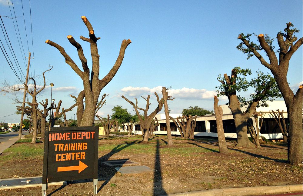 Another look at what's left of the live oaks along Forest Lane near Josey in northwest Dallas