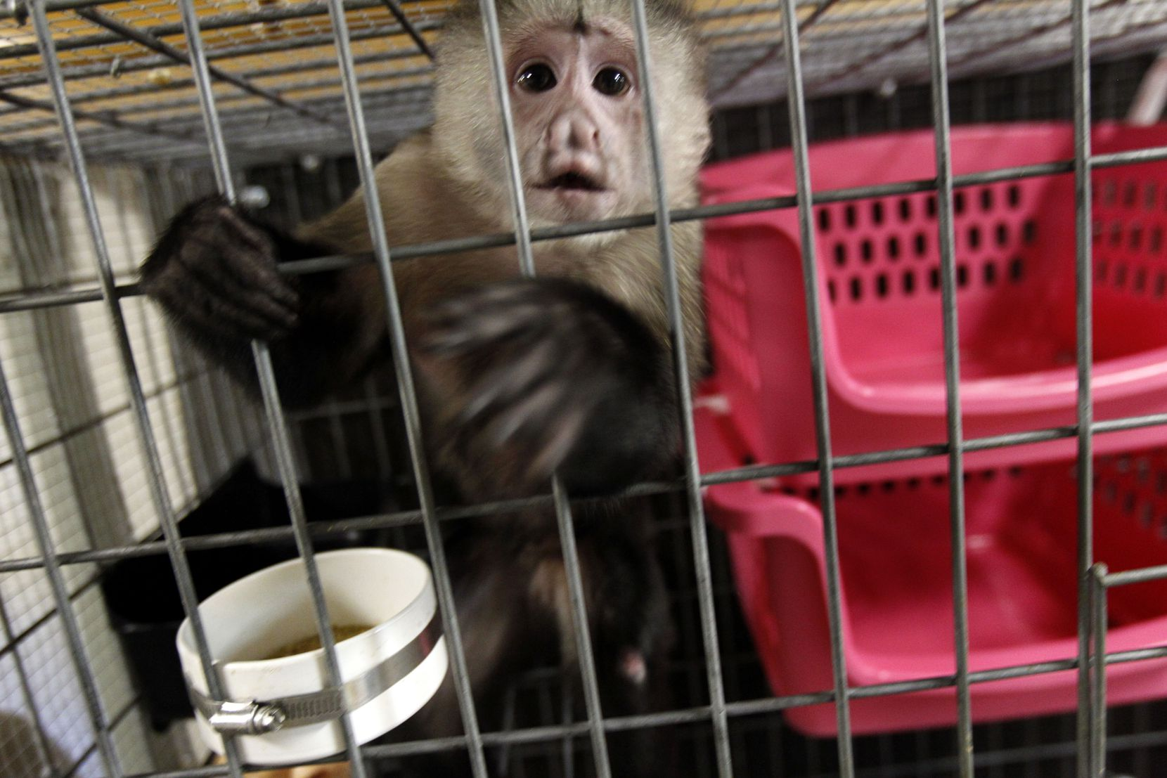 Louisiana monkey owners hide out in Texas to avoid exotic