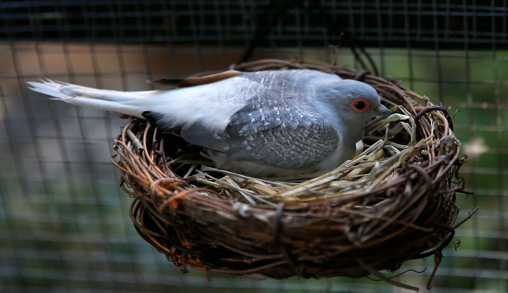 A diamond dove sits on an egg in the nest at Mariana Greene's home in Dallas.