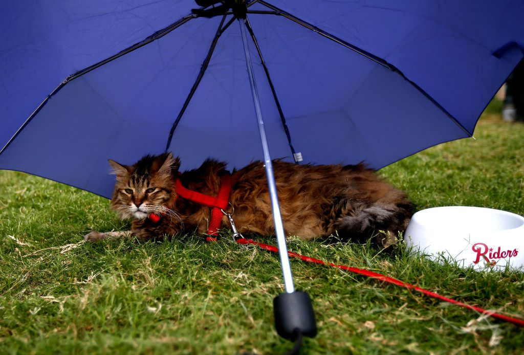 """Robidas the cat gets some shade during """"Take Meow to the Ballgame,"""" a day where cat owners are encouraged to bring their cats to the ballpark at Dr Pepper Ballpark in Frisco, Texas, Sunday, May 21, 2017."""