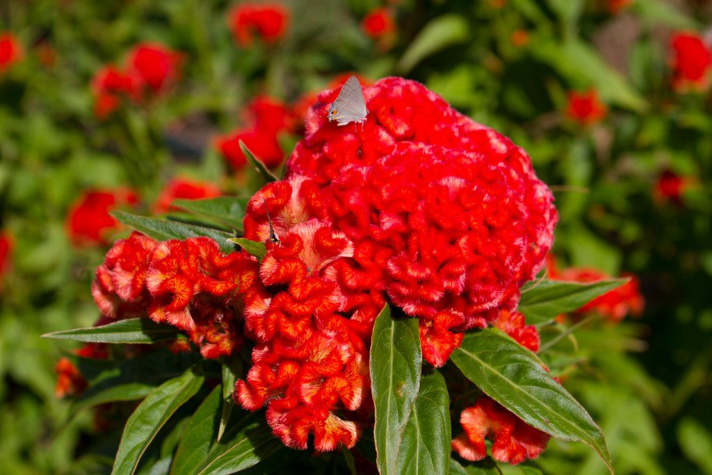 """Chief Persimmon"" celosia"