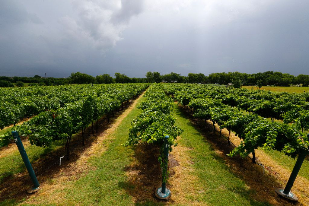 Even winemakers and other alcohol producers  in Texas and beyond are starting to feel the pinch of the government shutdown. This 2017 file photo shows a vineyard in North Texas.