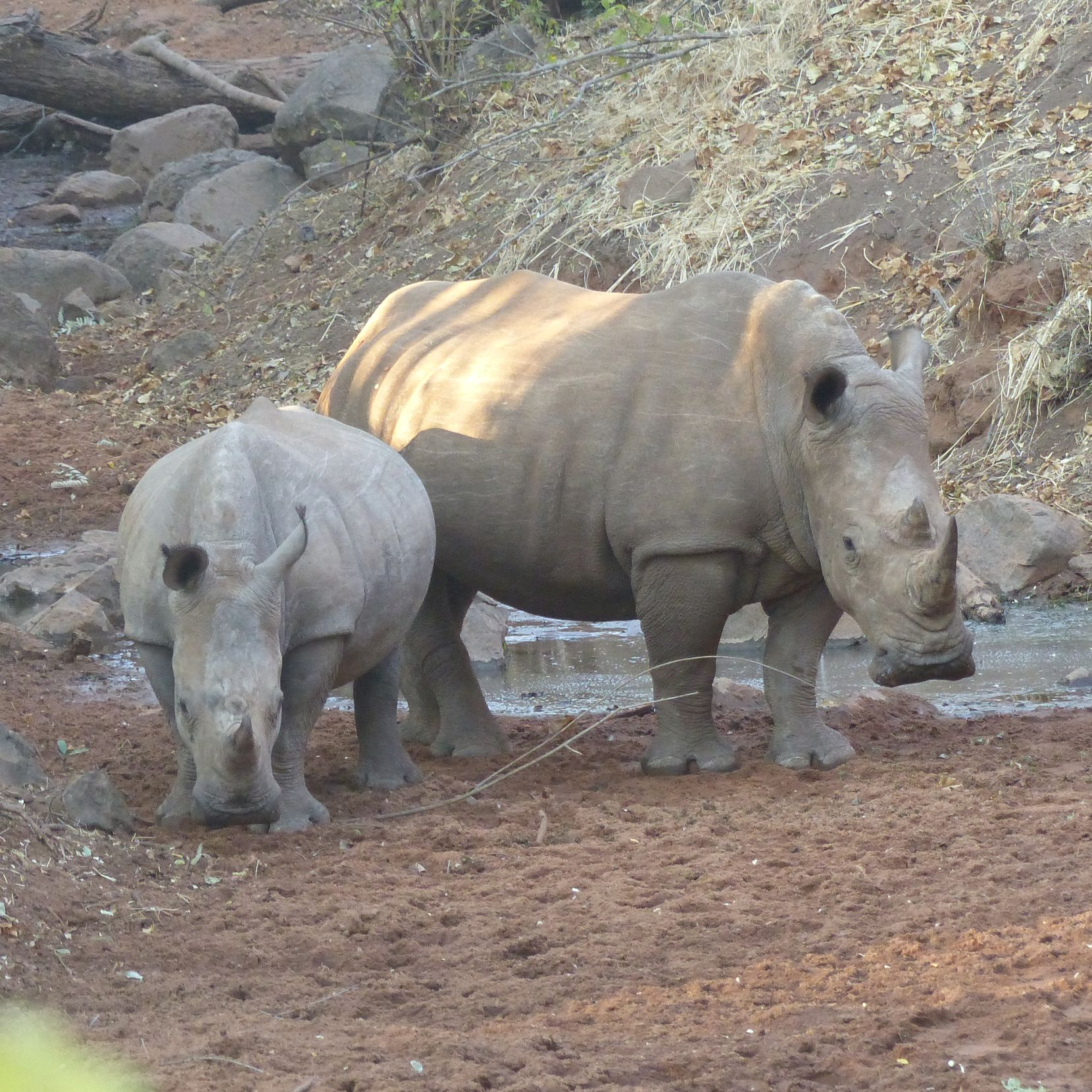White rhinos at Mosi-oa-Tunya National Park in Zambia are guarded round the clock from poachers.