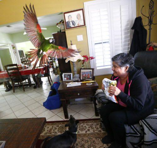 Maria Scott llama a su pájaro, Cotorrita, para que coma papas fritas después de regresar a su casa en medio del corte de gas por las explosiones en su vecindario. Foto: Nathan Hunsinger/ The Dallas Morning News