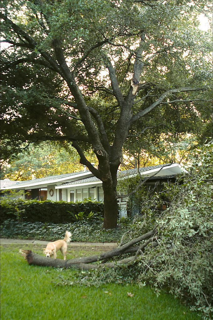An example of sudden branch drop, where trees lose large limbs with little warning or clues as to why.