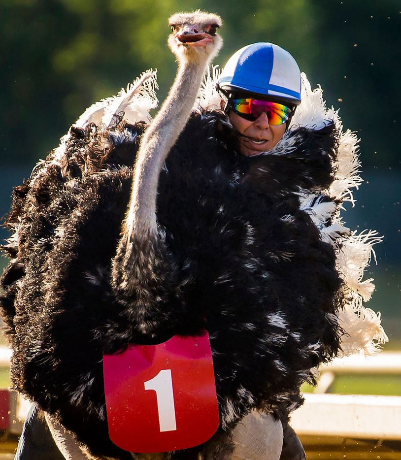 """Jockey Alex Alvarado rides an ostrich to victory during """"Extreme Racing"""" at Lone Star Park on Saturday, April 28, 2018, in Grand Prairie, Texas. Ridden by Lone Star Park jockeys, camels, ostriches and zebras took to the track between horse races, with each animal paired with a local non-profit charity. (Smiley N. Pool/The Dallas Morning News)"""