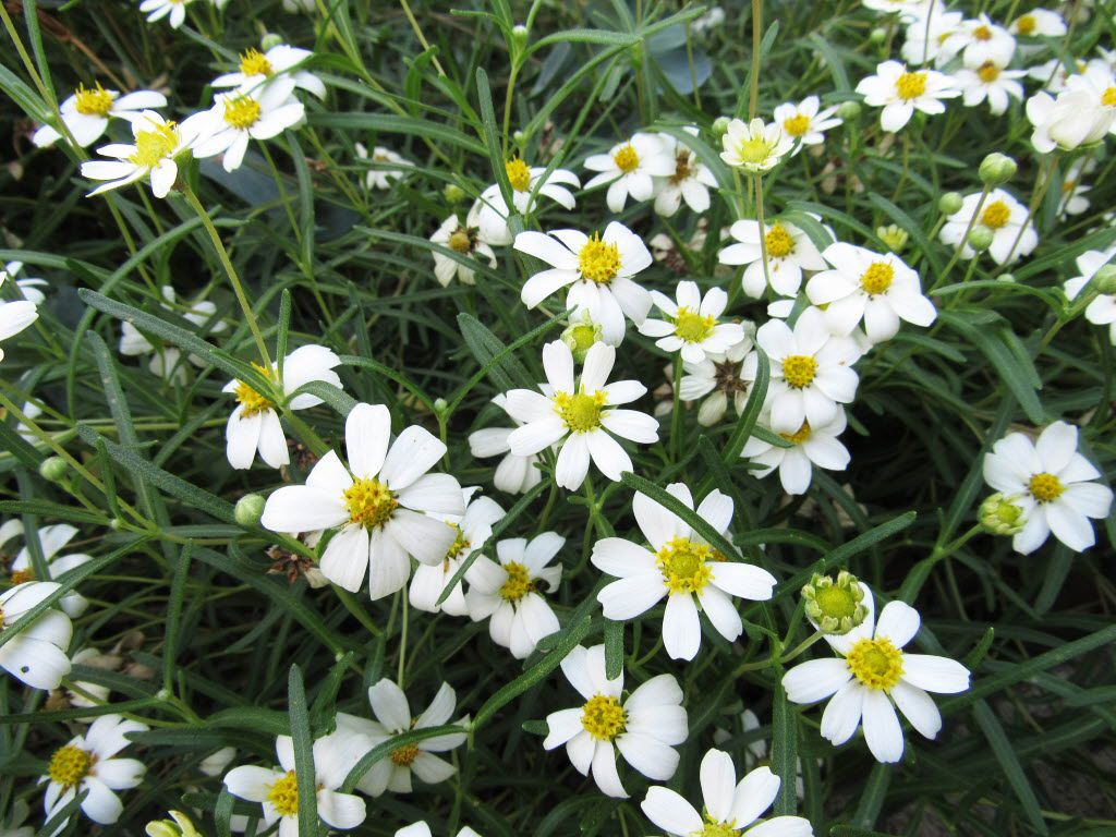 Blackfoot daisy (Melampodium leucanthum) is a white-flowering perennial for sunny and partly sunny, dry spots.