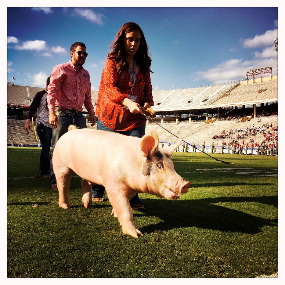 Riley Reep of Ropesville, Texas leads her Grand Champion Market Barrow, 'Peacock',  across the football field during halftime of the Air Force Falcons - New Mexico Lobos football game at the Cotton Bowl in Dallas, Saturday, October 15, 2016. Reep and other Grand Champion winners were showing off their livestock during halftime festivities. (Tom Fox/The Dallas Morning News)