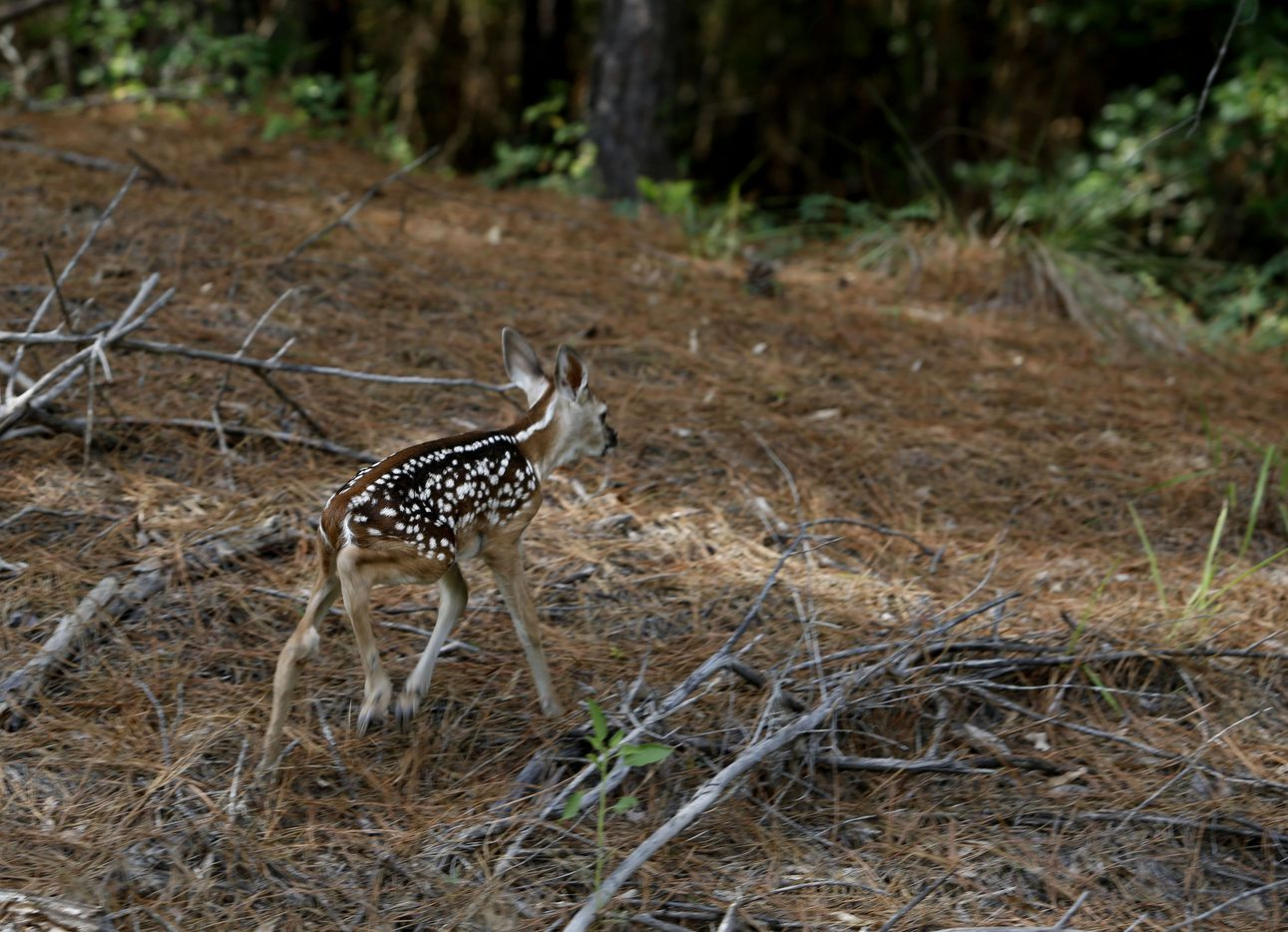 On wobbly legs, a newborn whitetail fawn heads for the woods after its mother bolted across the road when a car approached in the Caddo Lake National Wildlife Regure at Caddo Lake in Karnack, Texas Tuesday June 19, 2018.