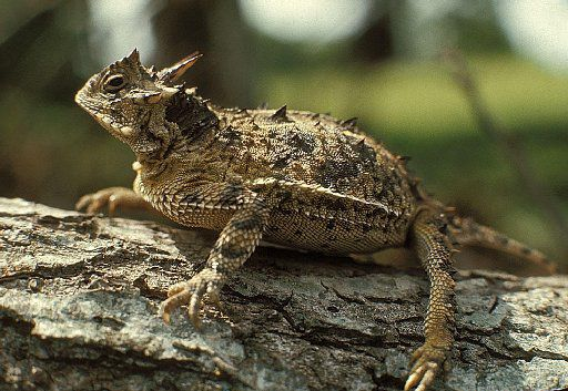 A Texas Horned Lizard is shown in this undated photo. The little lizards are on the endangered species list in Texas and Oklahoma, said Diane Post, assistant professor of biology at the University of Texas of the Permian Basin.