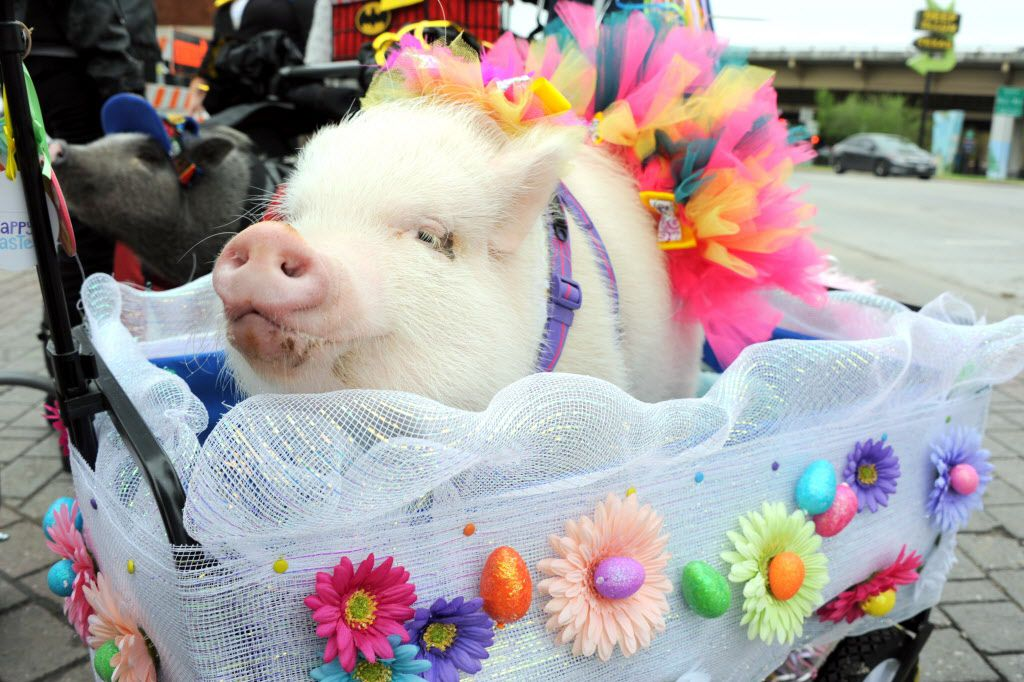 Pixie was dressed in her Sunday best for the parade.