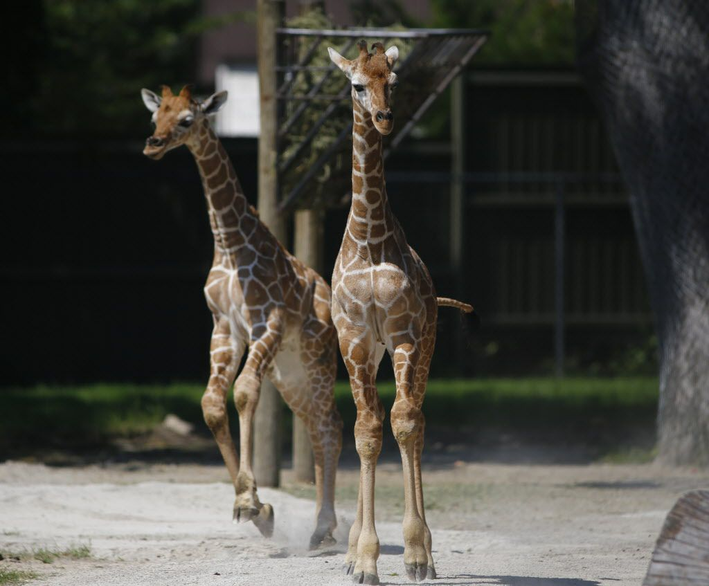 Waylon and Willie are reticulated giraffes.