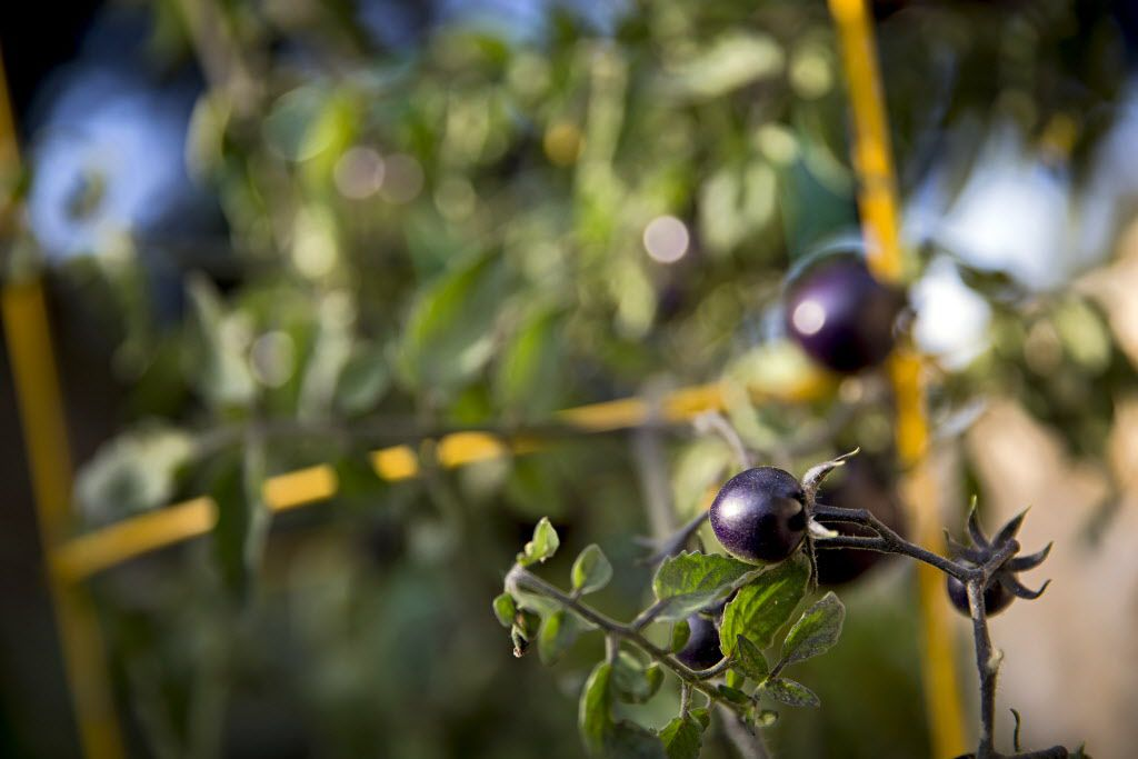 Indigo Rose tomatoes grow in chef Kent Rathbun's home garden Wednesday, November 11, 2015 in Dallas. (G.J. McCarthy/The Dallas Morning News)