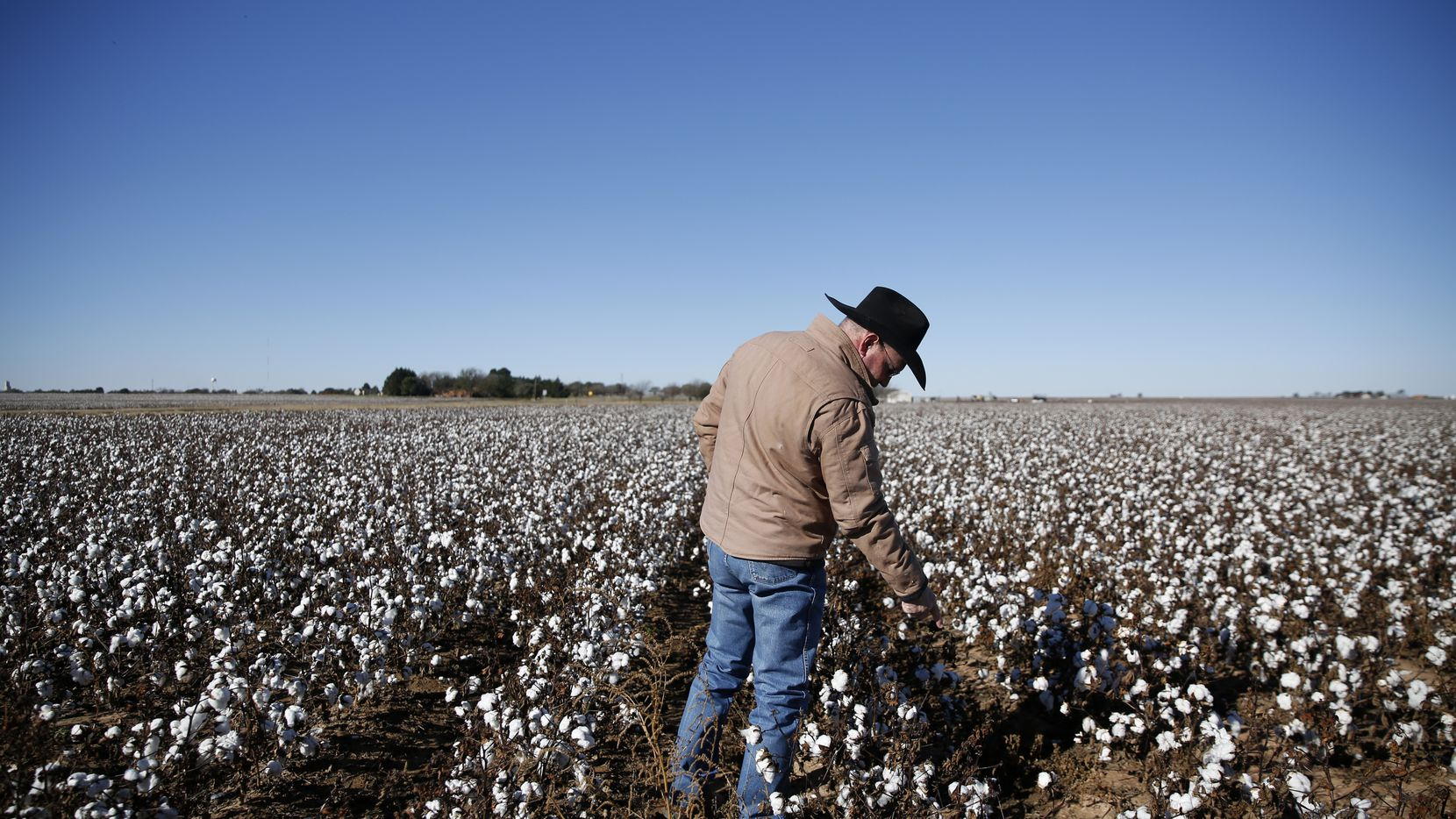 Matt Farmer reaches down to check some of his cotton in Lynn County, south of Lubbock.