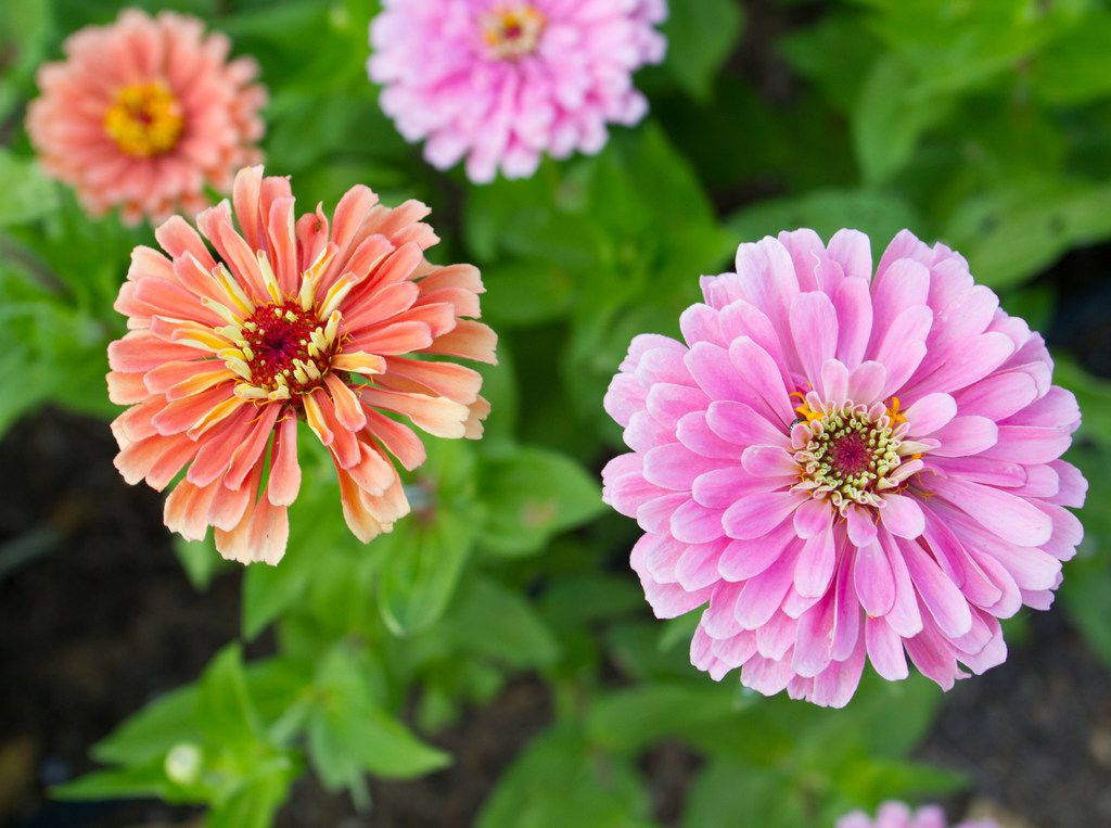 'Benary's Giant Salmon Rose' and 'Miss Willmott' zinnias at Tin Cup Farm in Buffalo