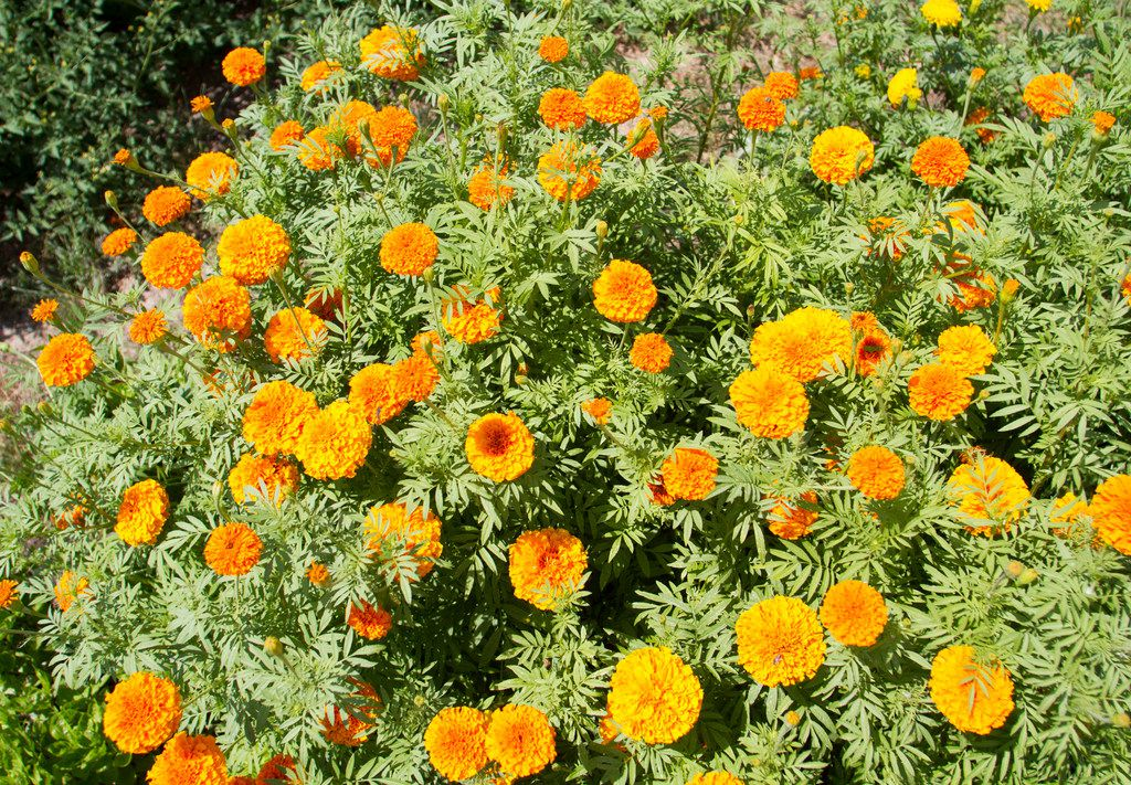 """Giant Orange"" marigolds"