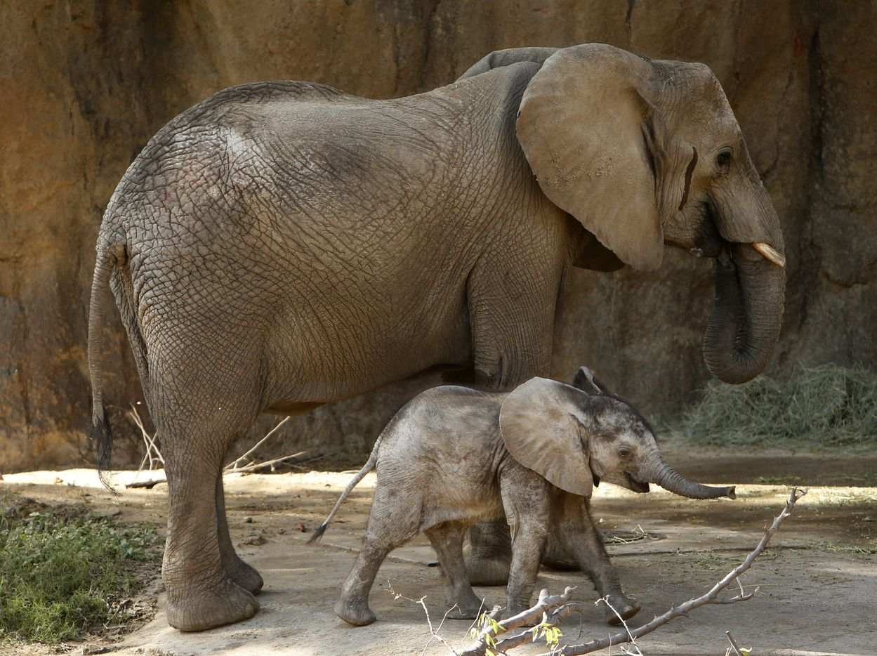 Ajabu, a 5-month-old baby elephant, walks with his mother Mlilo in the Giants of the Savannah exhibit at the Dallas Zoo in Dallas on Wednesday, Oct. 12, 2016. Ajabu now weighs 332 pounds and stands almost four feet tall.