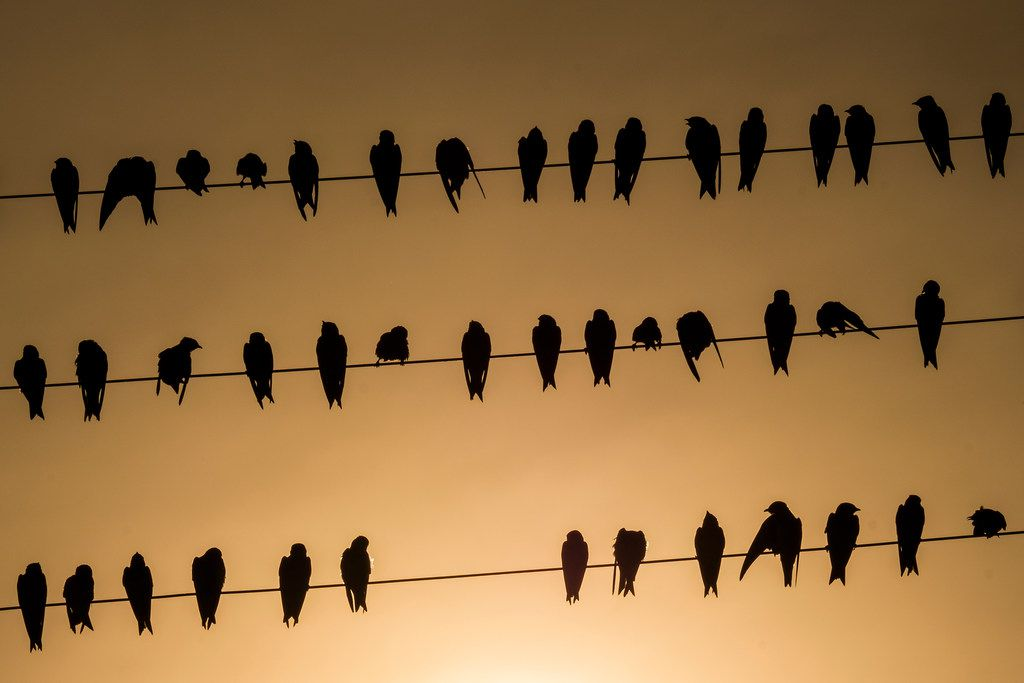 Birds on a wire as the sun sets at White Rock Lake on Thursday, Aug. 8, 2019, in Dallas.