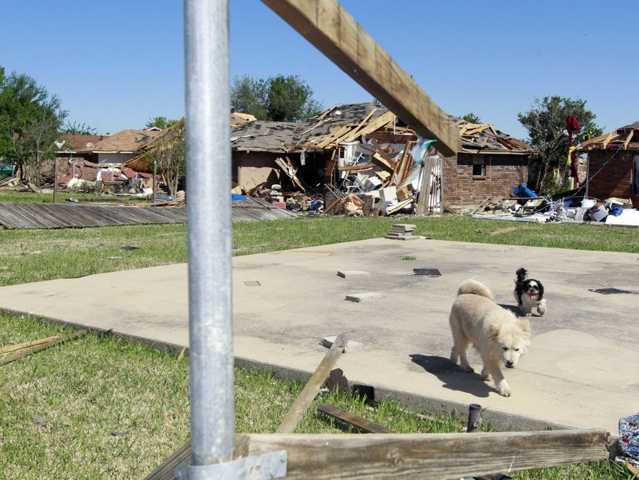 Two dogs head toward their owner after he called for them on April 5, 2012, two days after a tornado hit Lancaster.