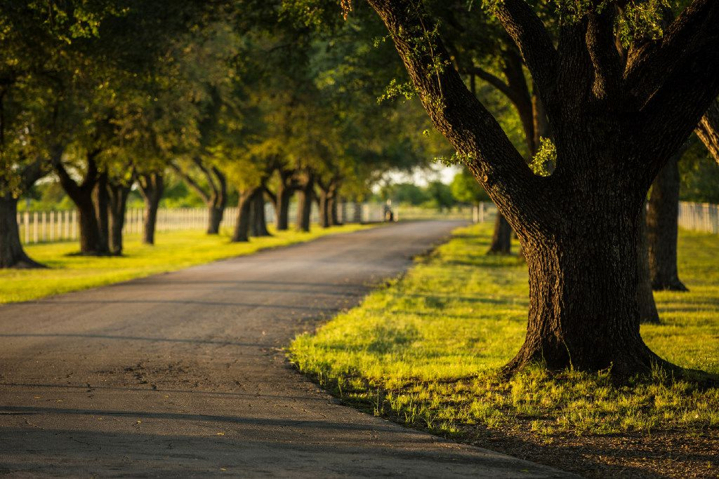 Stately oak trees line the main drive of the Toddie Lee Wynne family's Star Brand Ranch in Kaufman County.