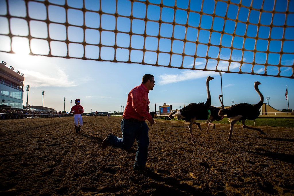 """Handlers corral ostriches after a race during """"Extreme Racing"""" at Lone Star Park on Saturday, April 28, 2018, in Grand Prairie, Texas. Ridden by Lone Star Park jockeys, camels, ostriches and zebras took to the track between horse races, with each animal paired with a local non-profit charity. (Smiley N. Pool/The Dallas Morning News)"""