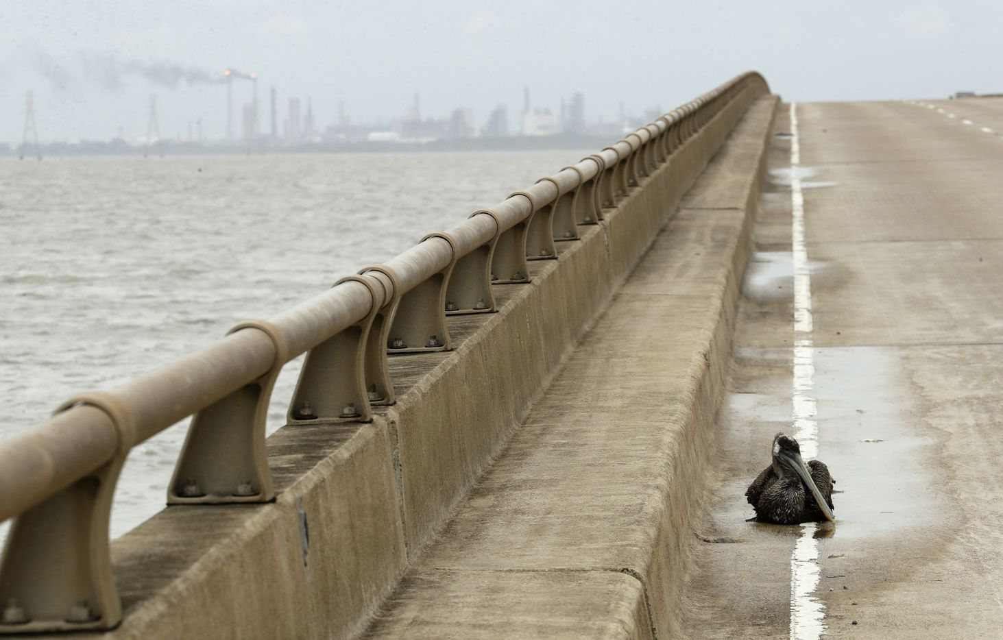 A pelican injured during Hurricane Harvey sits on a bridge Saturday, Aug. 26, 2017, in Port Lavaca, Texas, with an oil refinery in the background.