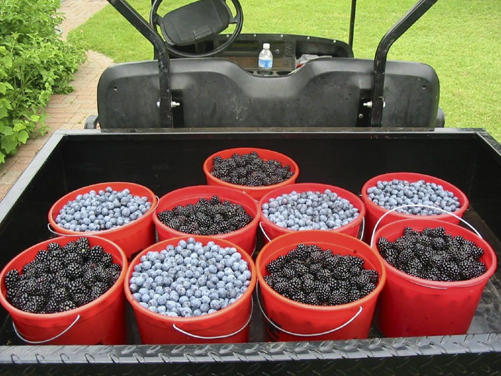 Blueberries and blackberries fill buckets in a small truck at Green Farm near Daingerfield, Texas.
