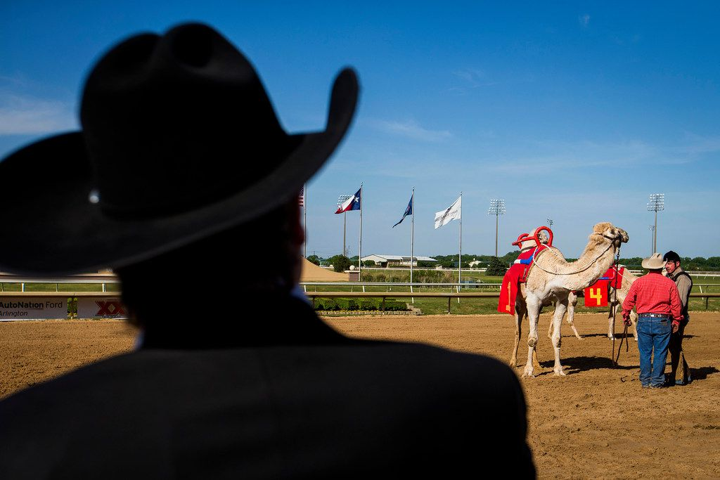 """Handlers prepare for a camel race during """"Extreme Racing"""" at Lone Star Park on Saturday, April 28, 2018, in Grand Prairie, Texas. Ridden by Lone Star Park, camels, ostriches and zebras took to the track between horse races, with each animal paired with a local non-profit charity. (Smiley N. Pool/The Dallas Morning News)"""