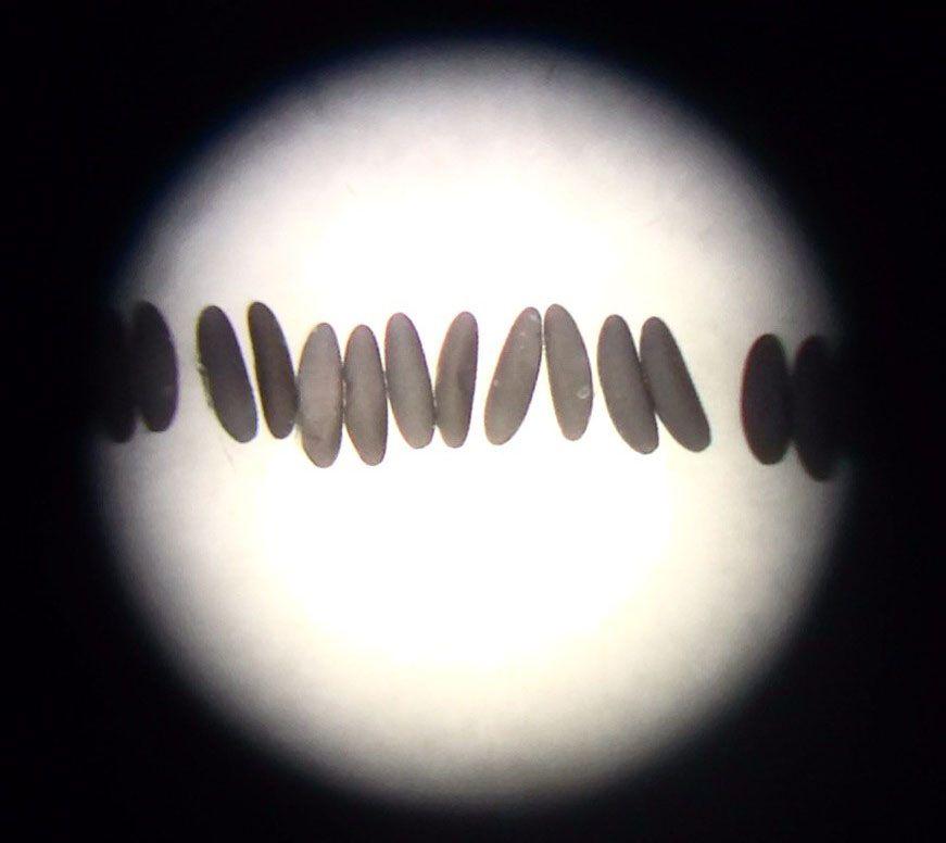 Mosquito eggs seen through a microscope. Oxitec photo