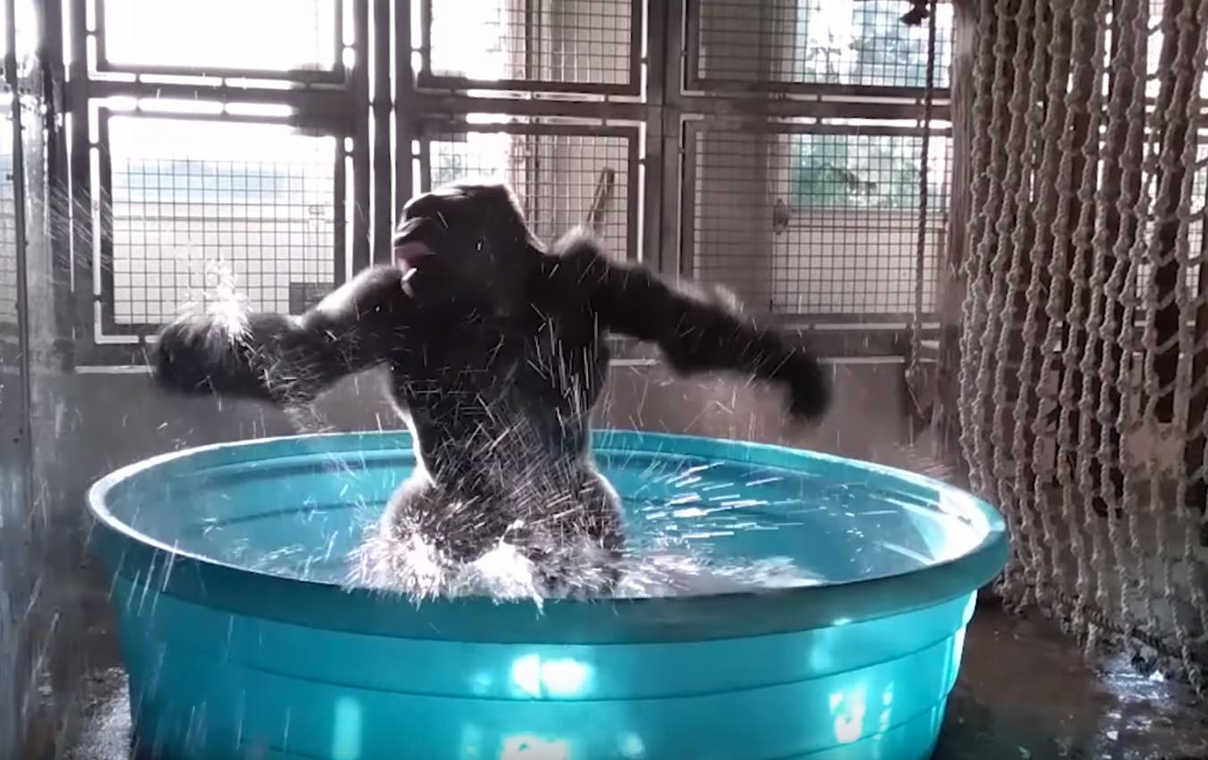 Zola the gorilla breakdances at the Dallas Zoo