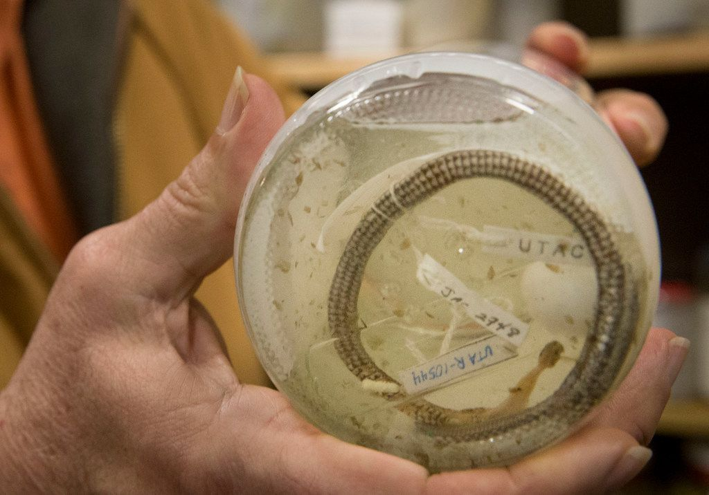 Jonathan Campbell, a biology professor at the University of Texas at Arlington, holds a jar containing a Cenaspis aenigma snake at the Amphibian and Reptile Diversity Research Center. The little snake was found in the belly of a coral snake.