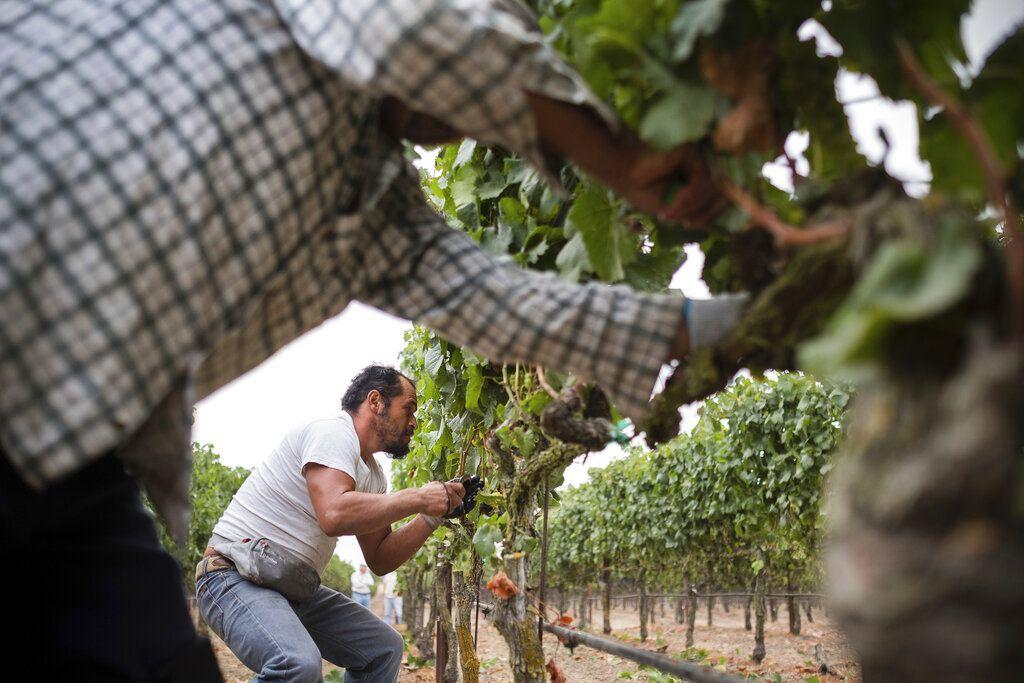"""En esta foto del 23 de agosto de 2017, cortesía de Quiet Pictures, René Reyes Ornelas, un trabajador agrario mexicano de 41 años, cosecha uvas en Sonoma, California. """"Harvest Season"""", un nuevo documental de PBS cuyo estreno está previsto para el 13 de mayo de 2019, muestra los aportes de los mexicano-estadounidenses a la industria vinícola del valle de Napa, California. (Roberto """"Bear"""" Guerra/Quiet Pictures via AP)"""